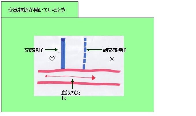 自律神経 交感神経と血流1 HP用