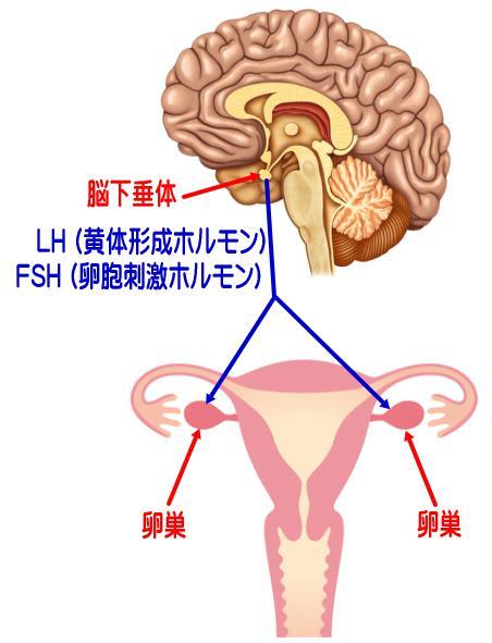 脳下垂体から出ている女性ホルモン