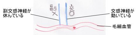 滋賀大津カイロプラクティック交感神経が働いて毛細血管が細くなっている