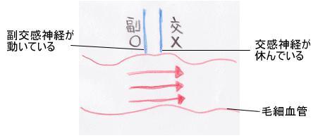 滋賀大津カイロプラクティック副交感神経が働いて毛細血管が太くなっている