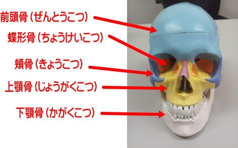 頭蓋骨 前から