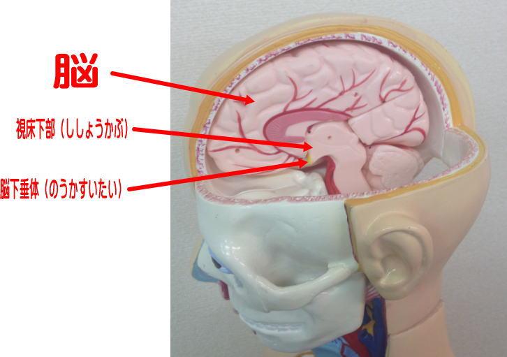 頭蓋骨の歪みと視床下部、脳下垂体の関係