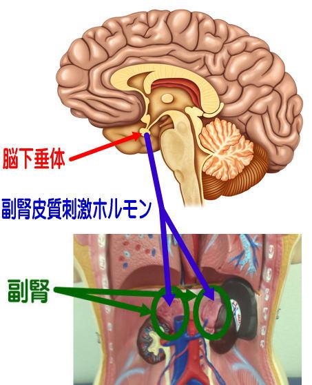 副腎皮質刺激ホルモンと脳下垂体