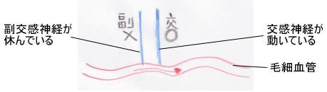 毛細血管の血流3