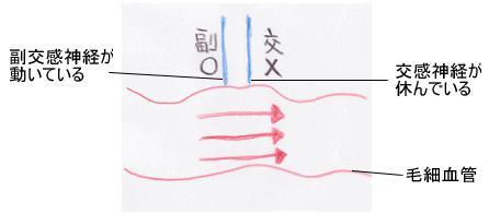 毛細血管の血流4